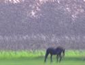 paard-spreeuwen