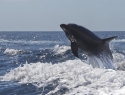dolfijn Tenerife