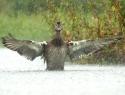 LSH 002 Wilde eend