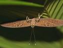 Costa Rica vlinder