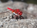 Libelle La Gomera