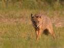 Canis aureus (jakhals)