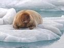 baardrob-spitsbergen