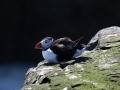 hdw-007-papegaaiduiker-farne-islands-okt2013