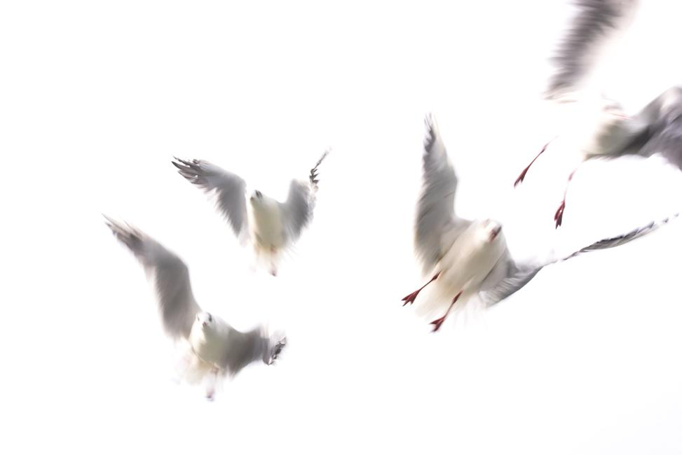 Rob Blanken - Meeuwen op volle snelheid