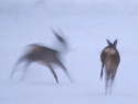 Klaas Kanis - Reeën in de sneeuw