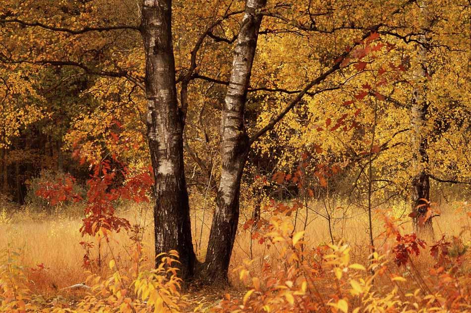 Jaap Veenstra - berken in de herfst